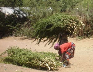 Local woman carry loads of tree cuttings for fencing
